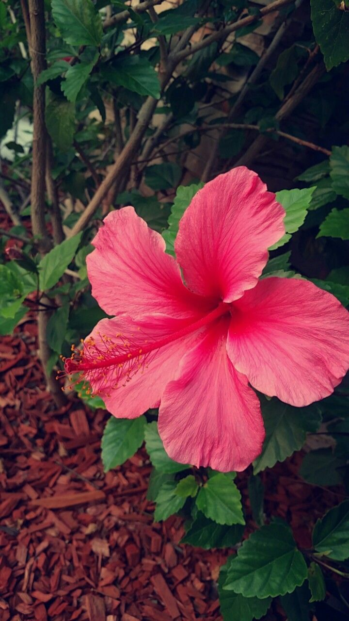 Hibiscus Traditionally Hibiscus Flowers Represent Delicate Beauty