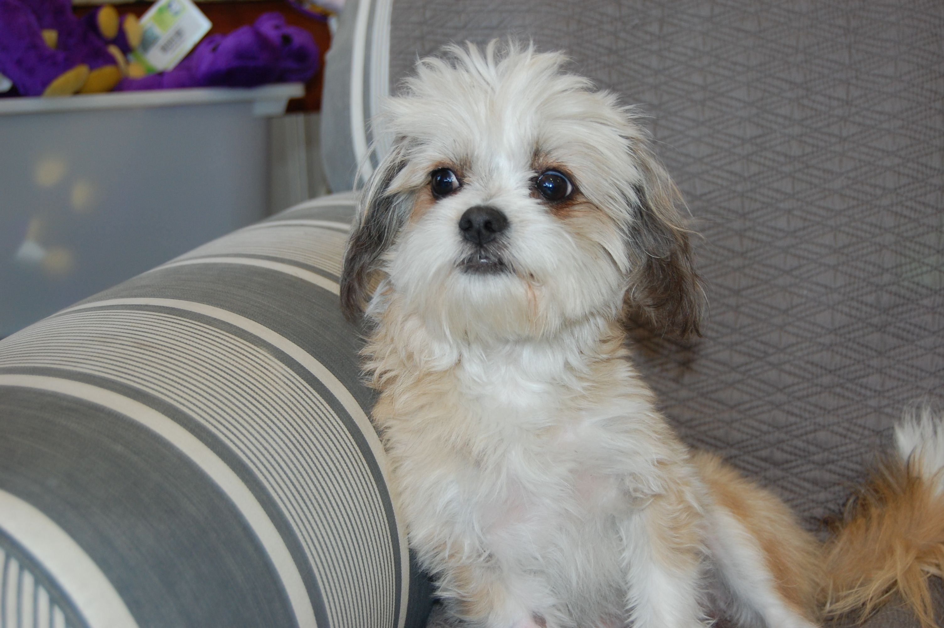 Christopher Maltese Mix 10 Months Old Dog Adoption Rescue Dogs Dog Love