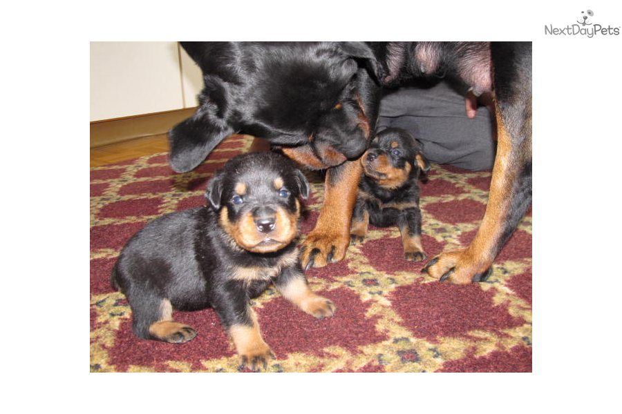 Rottweiler Puppy for Sale Awesome AKC Rottweiler Pups