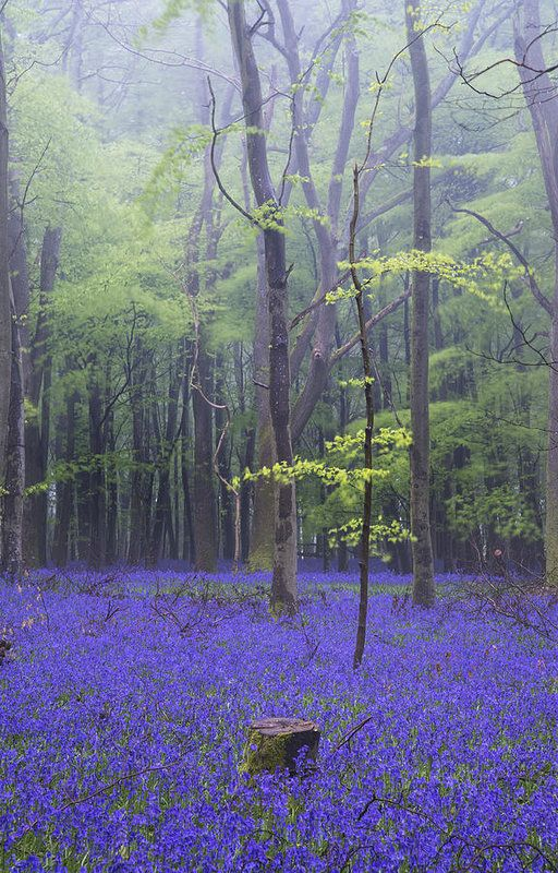 Landscape Art Print featuring the photograph Vibrant Bluebell Carpet Spring Forest Foggy Landscape by Matthew Gibson