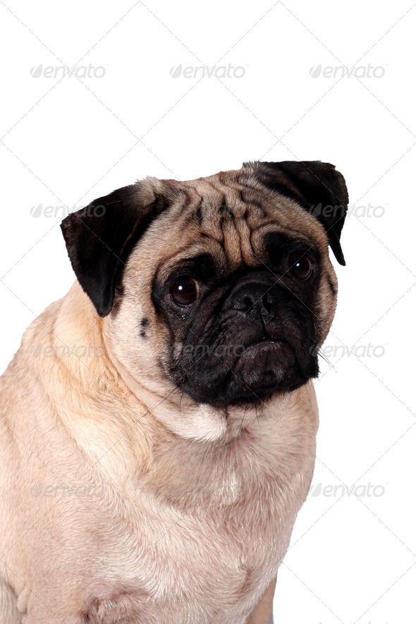 Top Pug Canine Adorable Dog - 40db21bec86f0529e954824da115be67  Picture_757325  .jpg
