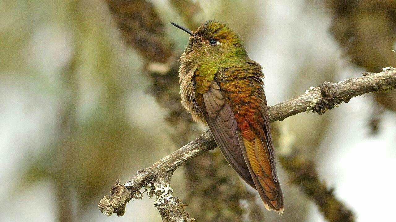 bronzetailed thornbill Bronze, Animals and pets, Animals