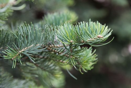 Pine Tree Bough