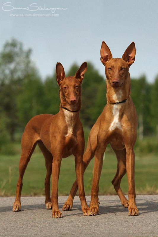 Pharaoh Hound The Oldest Dog Breed