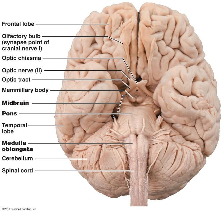 Inferior view of the brain, showing the three parts of the ...
