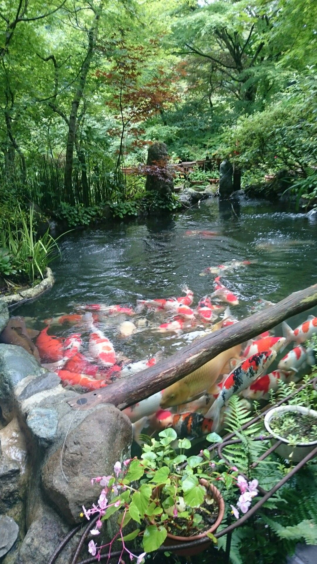 Koi pond garden waterfalls fountains and ponds for Japanese koi pond garden