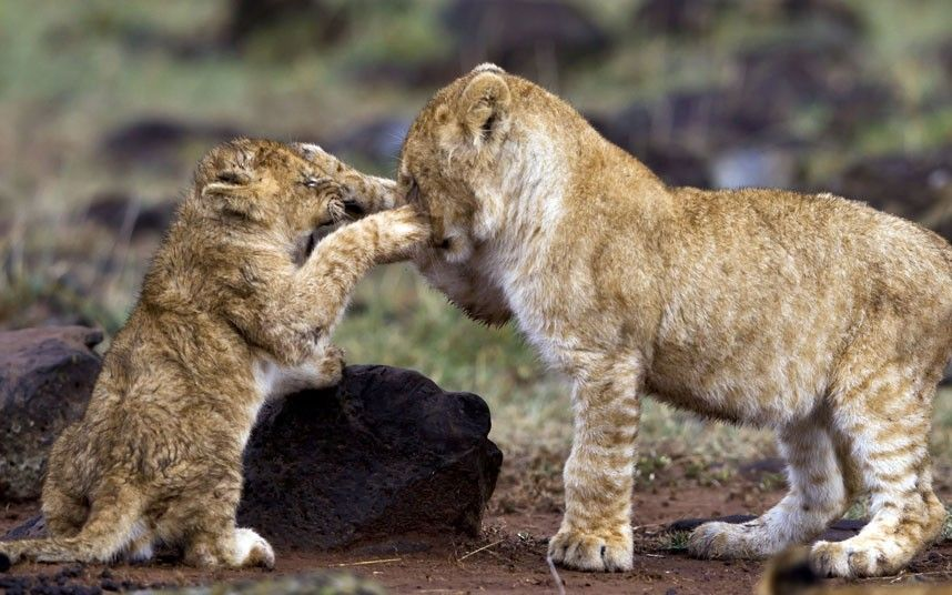 88a9195137 ...and two lion cubs stage their own boxing match in Africa.