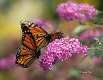 1205311900001monarch8425crxata
