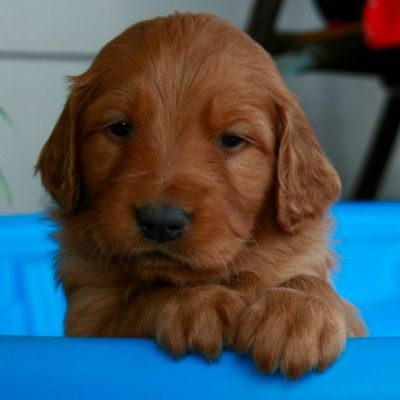 Arkansas Golden Retriever Puppies For Sale Golden Retriever