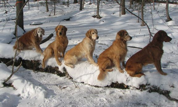Brackenridge Goldens Near Ottawa That S Where We Got Our Puppy