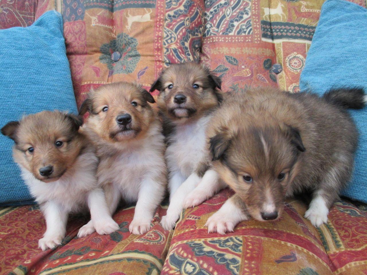 Sheltie Puppies Sheltie Sheltie Puppy Cute Baby Animals