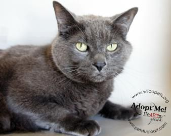 Handsome Russian Blue Cat Seeks Home In Central Texas Cat