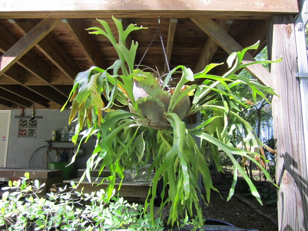 Staghorn fern care how to grow a staghorn fern indoors and in the garden fern plants and - Indoor plant varieties ...