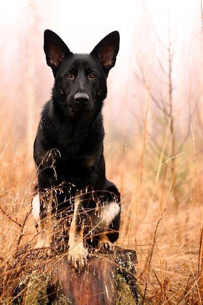 Askan Reinrassiger Langhaariger Schaferhund 2 Jahre Tierhi In Bayern Lauf A D Pegnitz Mischl Schaferhunde Langhaar Schaferhund Deutscher Schaferhund