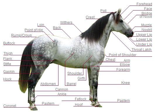 Horse Parts | Moronacity Horse Journal | Horses, Hooves, Vets