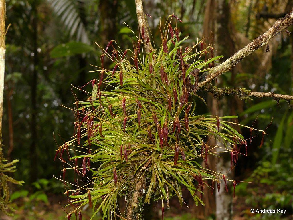 Barbosella Dolichorhiza Photo Orchids Moreno