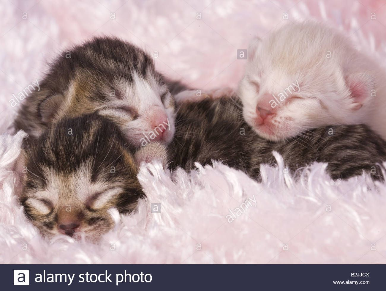 Download This Stock Image Three Newborn Kittens On Pink Background B2jjcx From Alamy S Library Of Millions Of High R Newborn Kittens Kittens Pink Background