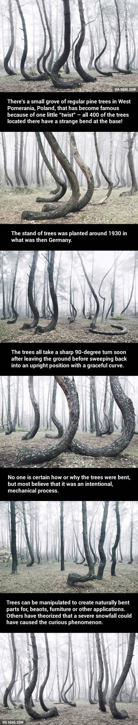 Mysterious Forest Of Crooked Trees In Poland Is Still A - To this day the mystery of polands crooked forest remains unexplained