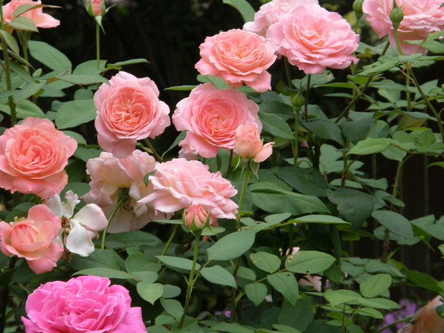Liv Tyler Is My Most Disease Resistant Hybrid Tea Hybrid Tea Roses Tea Roses Rose