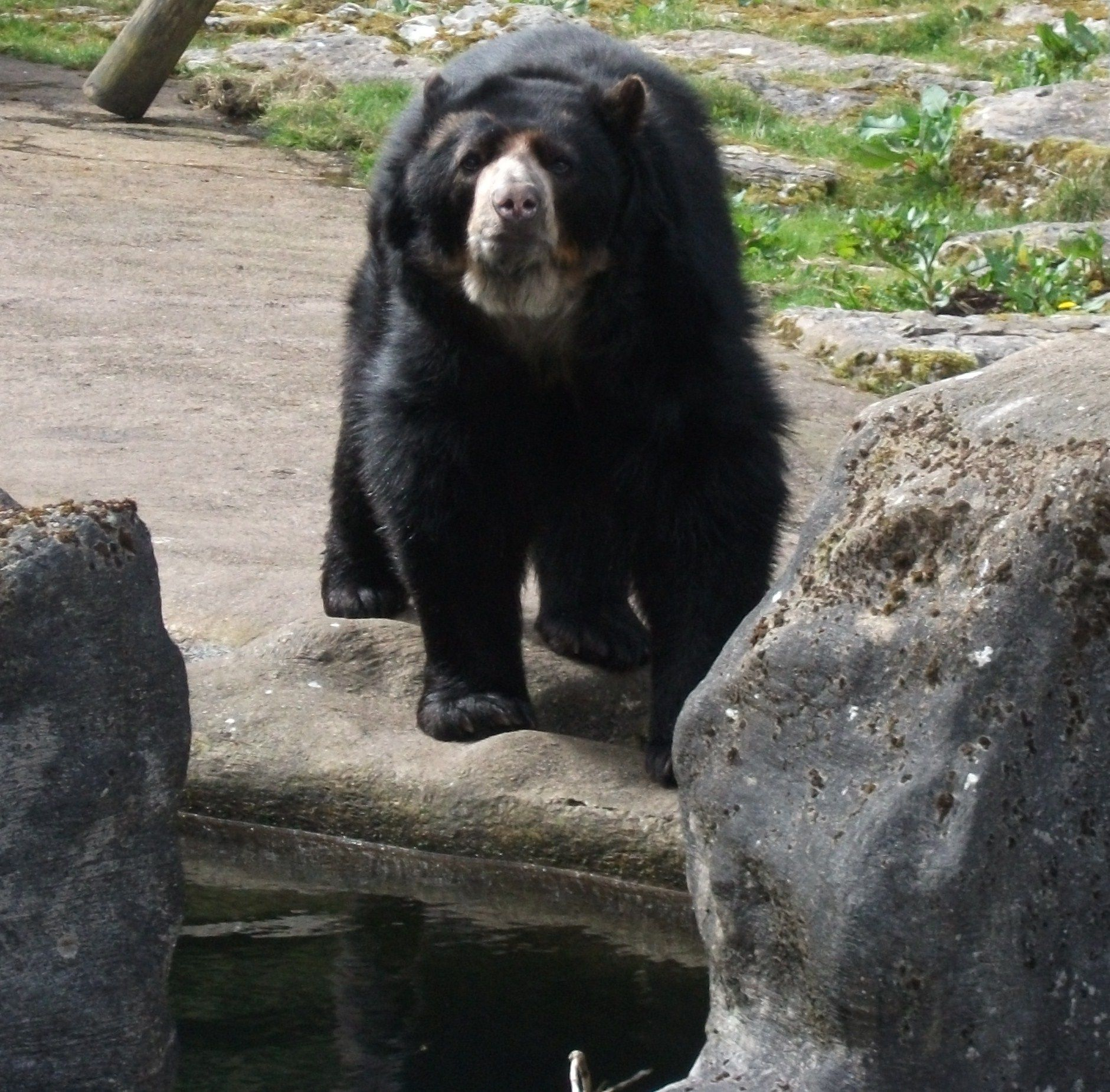 the endangerment of the spectacles bear species The eight bear species of the world: sloth bear (melursus ursinus it has also become an endangered species and is severely threatened due to habitat their fur is thinner than that of north american bear species size: adult spectacled bears can weigh between 175 and 385 pounds.