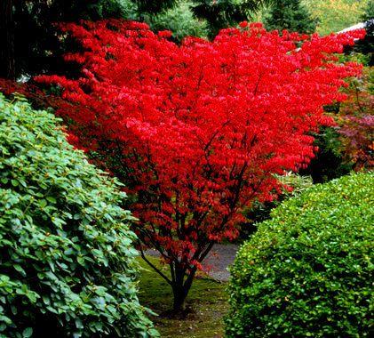Acer palmatum ' Shindeshojo ' Spring Red Japanese Maple