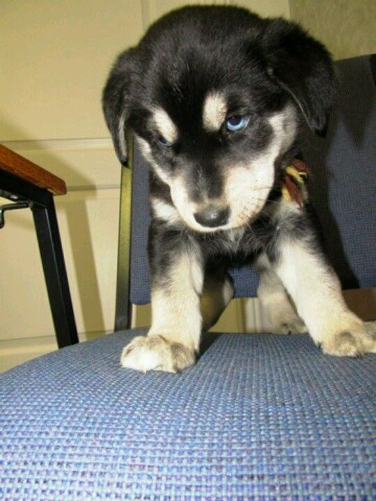 Our Lab Husky Mix Puppy Aliza Jane Love Her Furbaby Labsky Blue Eyed Mixed Beauty Dogs Funny Dog Pictures Lab Mix Puppies