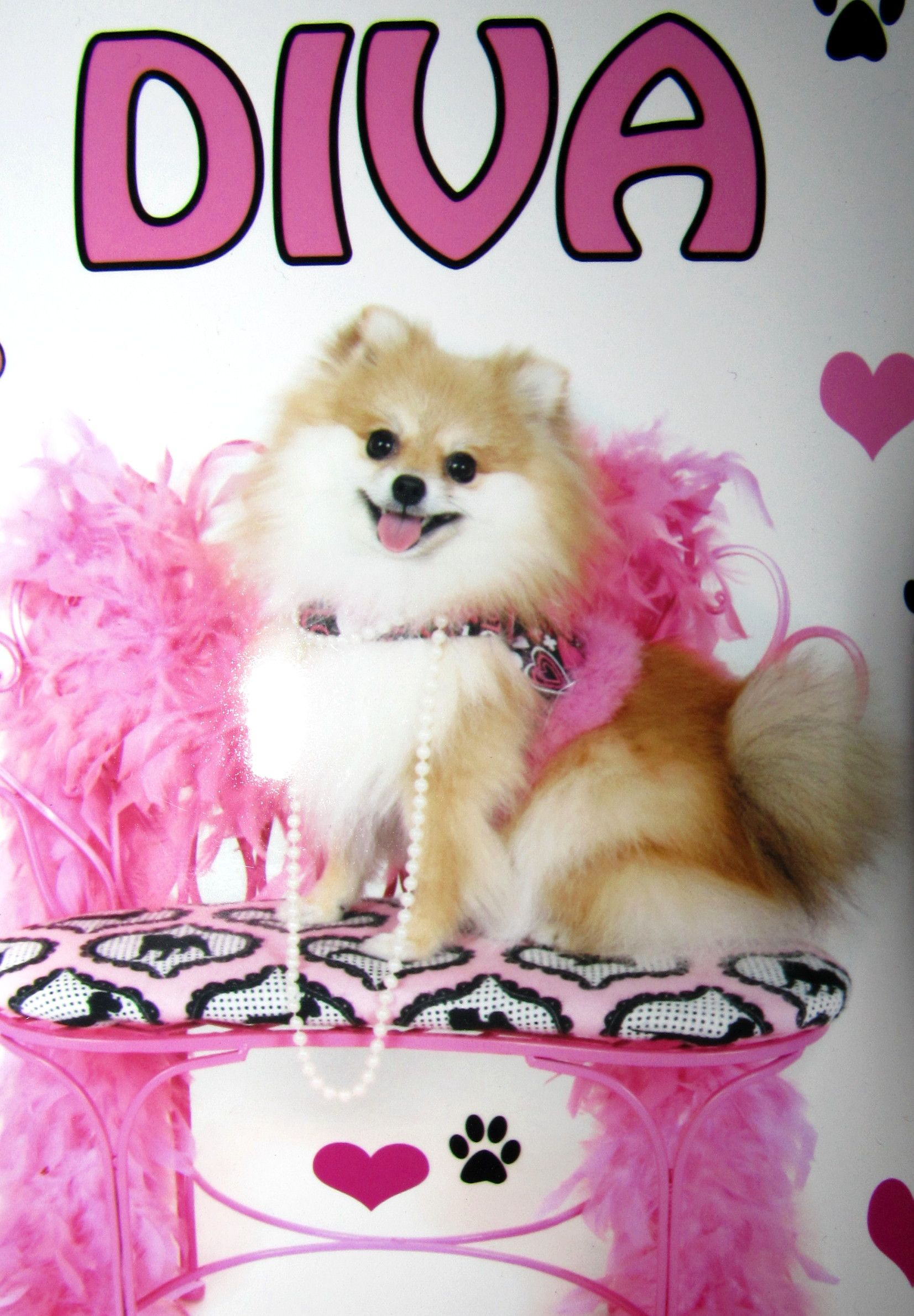 Pomeranian Puppies For Sale In Florida Poofy Poochies Pomeranian Puppy For Sale Pomeranian Puppy Puppies For Sale