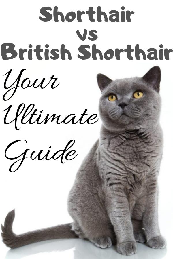 American Shorthair Vs British Shorthair Full Comparison And