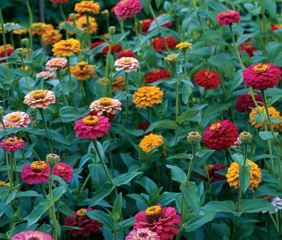 #Plants That #Attract #Butterflies: #zinnia (annual