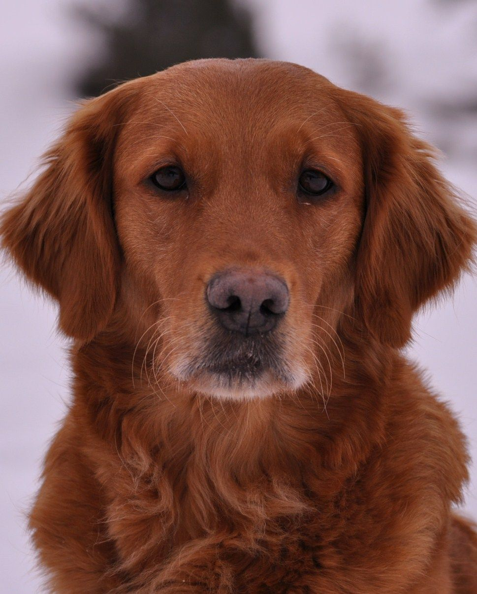 Memarkens Spice Golden retriever, Cute cats and dogs
