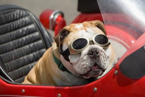 Bulldog Hanging Out In A Sidecar In Myrtle Beach Sc Bringfido