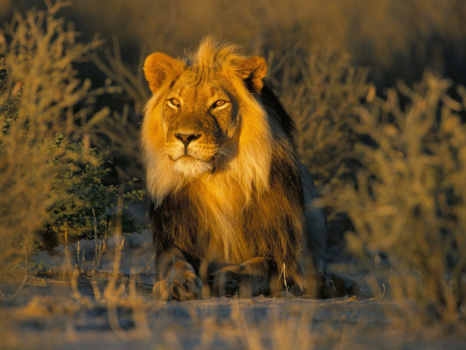 Lions Lions Picture Lions Attack Wild Lions Lion Pictures Pictures Of Lions Lion Wallpaper Lion Pictures African Lion