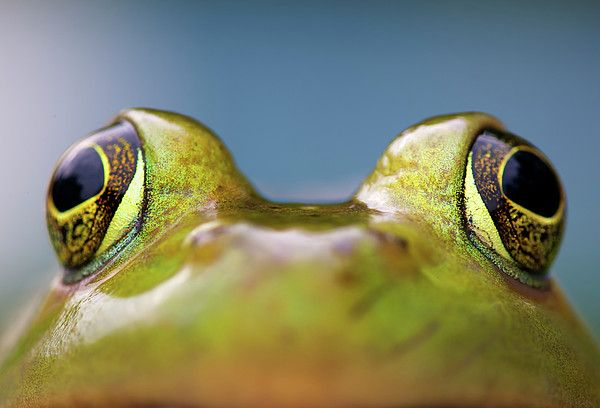 Close-up Of American Bullfrog Eyes by Nick Harris Photography
