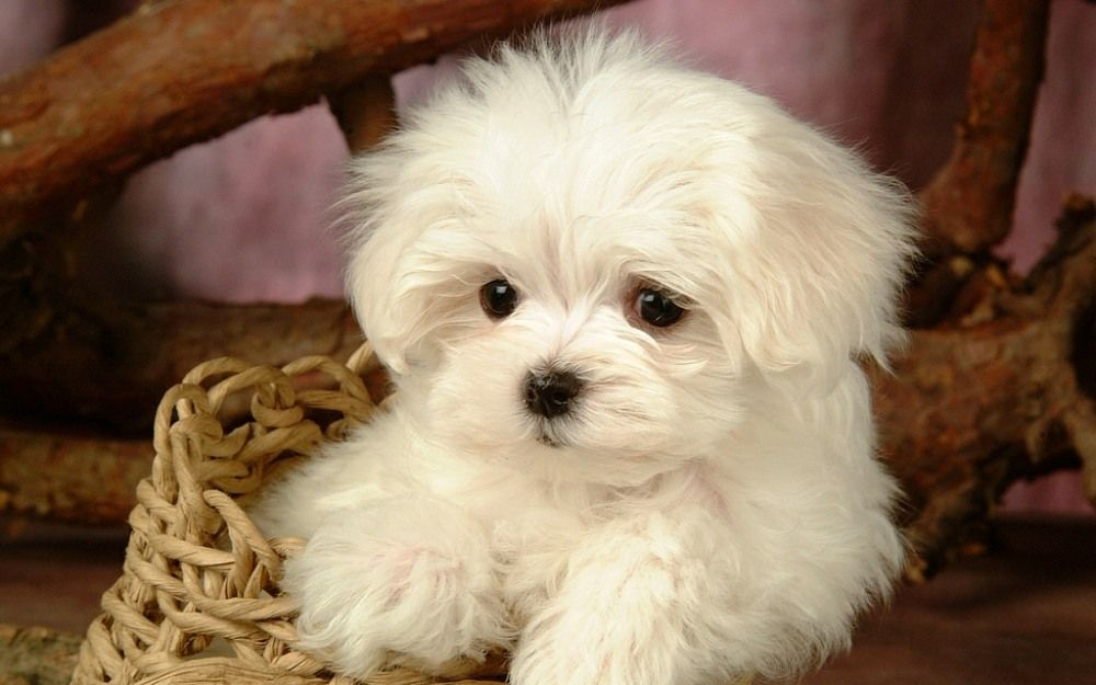 8 Healthiest Small Dog Breeds That Don T Shed Wag The Dog Uk Puppy Dog Pictures Puppy Pictures Maltese Puppy
