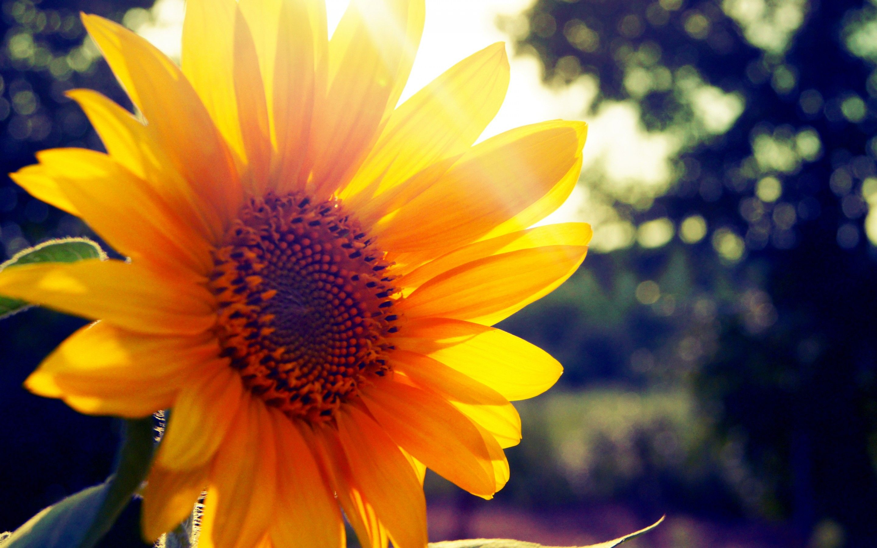 Sunflower Desktop Wallpapers and Artwork | page 2