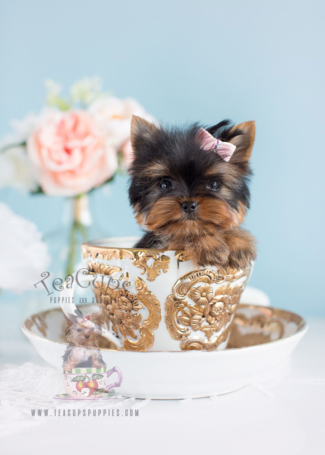Micro Tea Cup Yorkie Puppy By Teacupspuppies Com Teacupyorkie Yorkie Yorkiepuppy Yorkiebreeder Microteacu Yorkie Puppy Teacup Puppies Teacup Yorkie Puppy