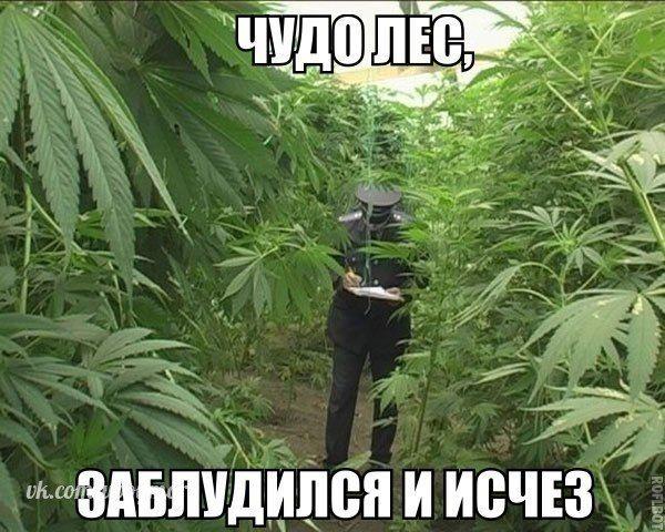 Фото марихуана приколы 10 кустов марихуаны