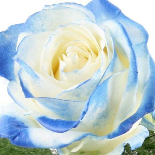 Rose blau weiß