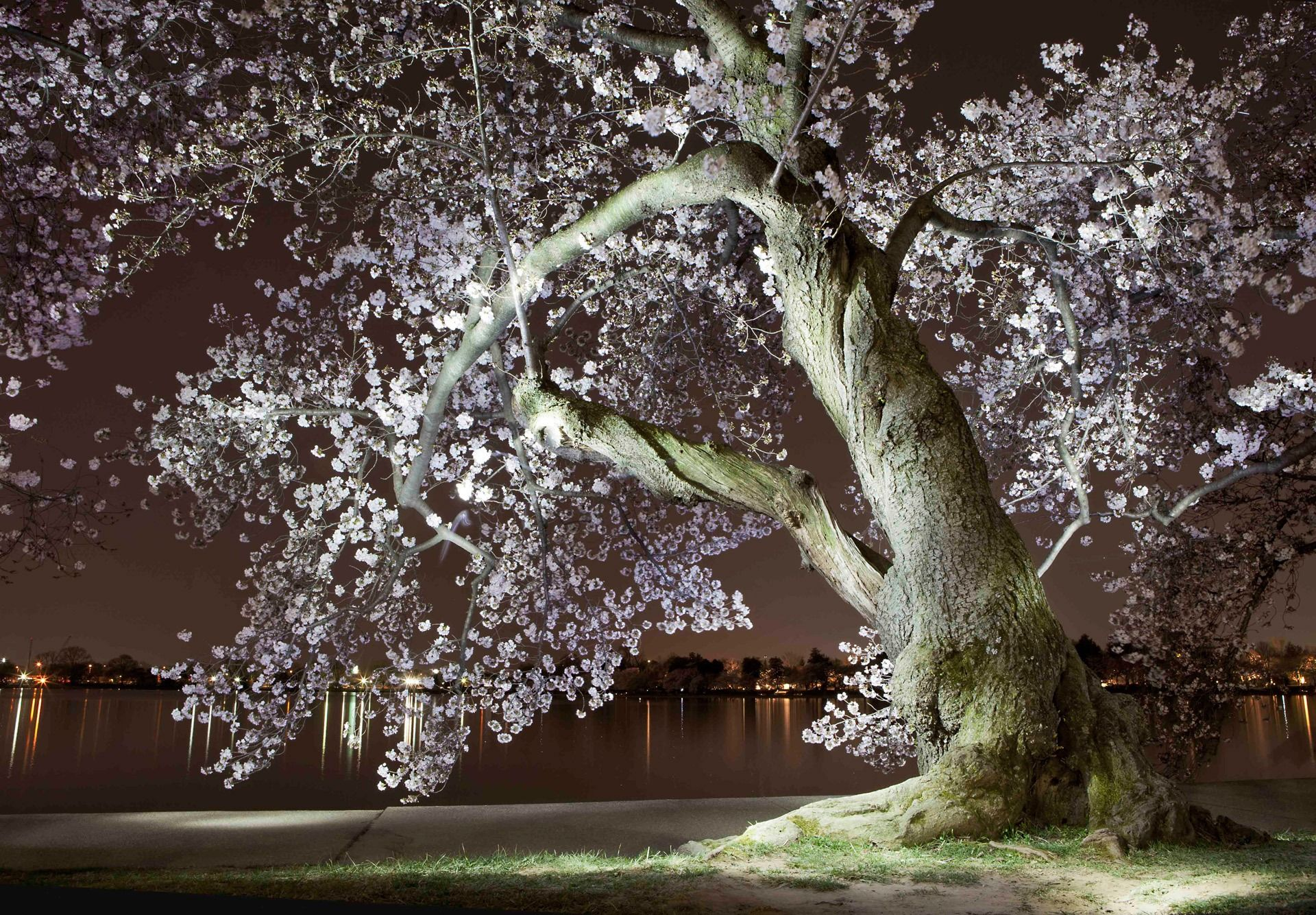 Gorgeous Light Paintings Show D C Cherry Blossoms At Night Cherry Blossom Painting Light Painting Cherry Blossom Washington Dc