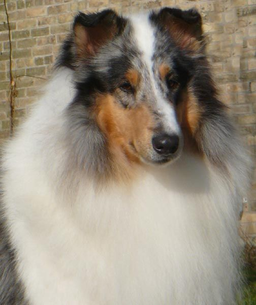 Can Ch Winsmore Captivation Owned By Glasgowhill Collies Collie Corgi Dogs