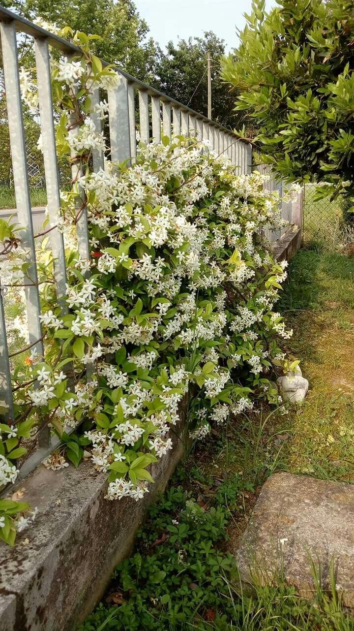 1.6.2017 Rincospermo Falso Gelsomino (Trachelospermum Jasminoides)