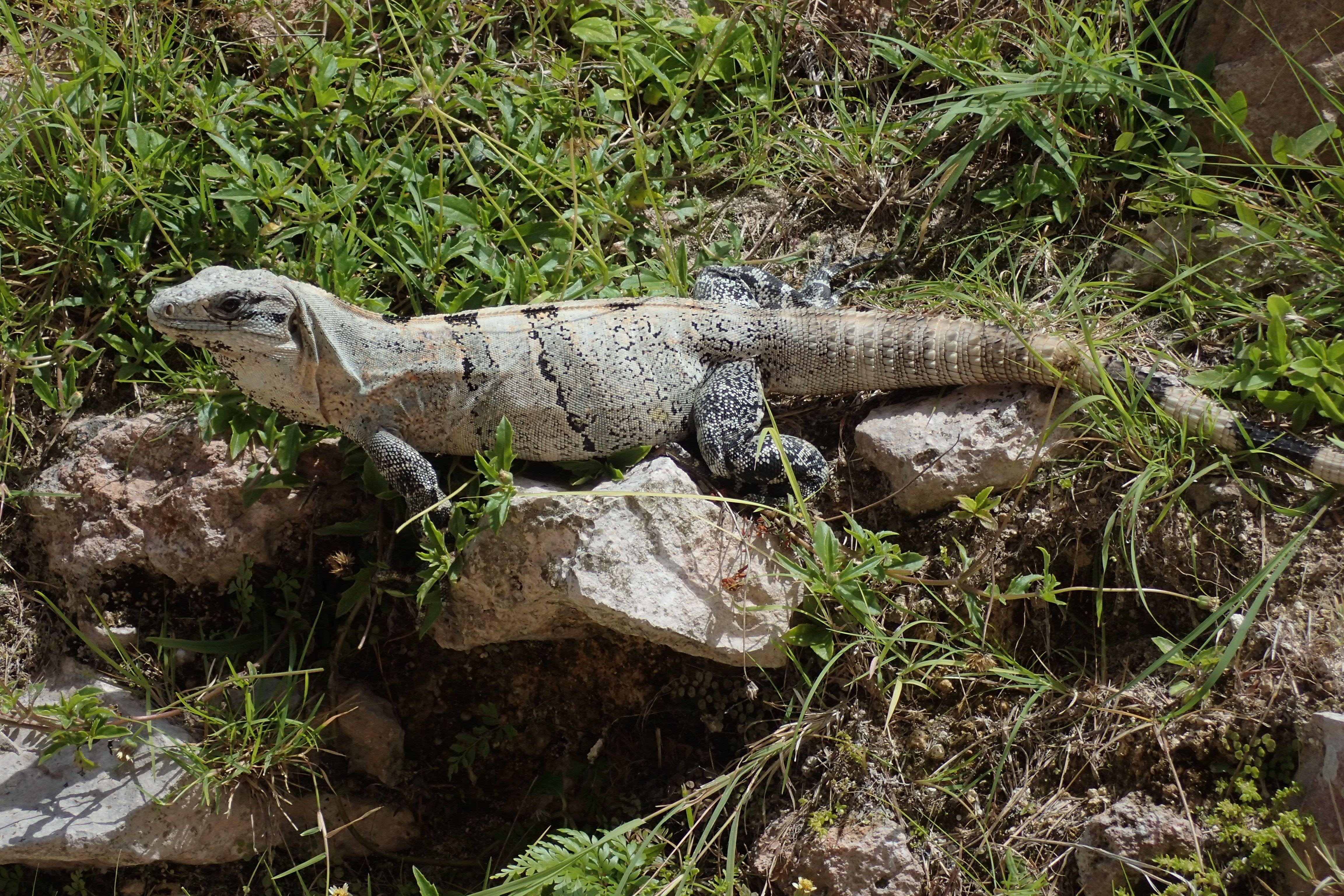 Black Spinytailed Iguana at Ruinas Uxmal, Yucatan, Mexico