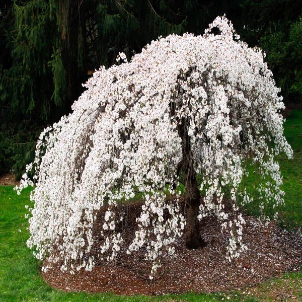 White Weeping Cherry Tree Weeping Cherry Tree Crabapple Tree Cherry Tree