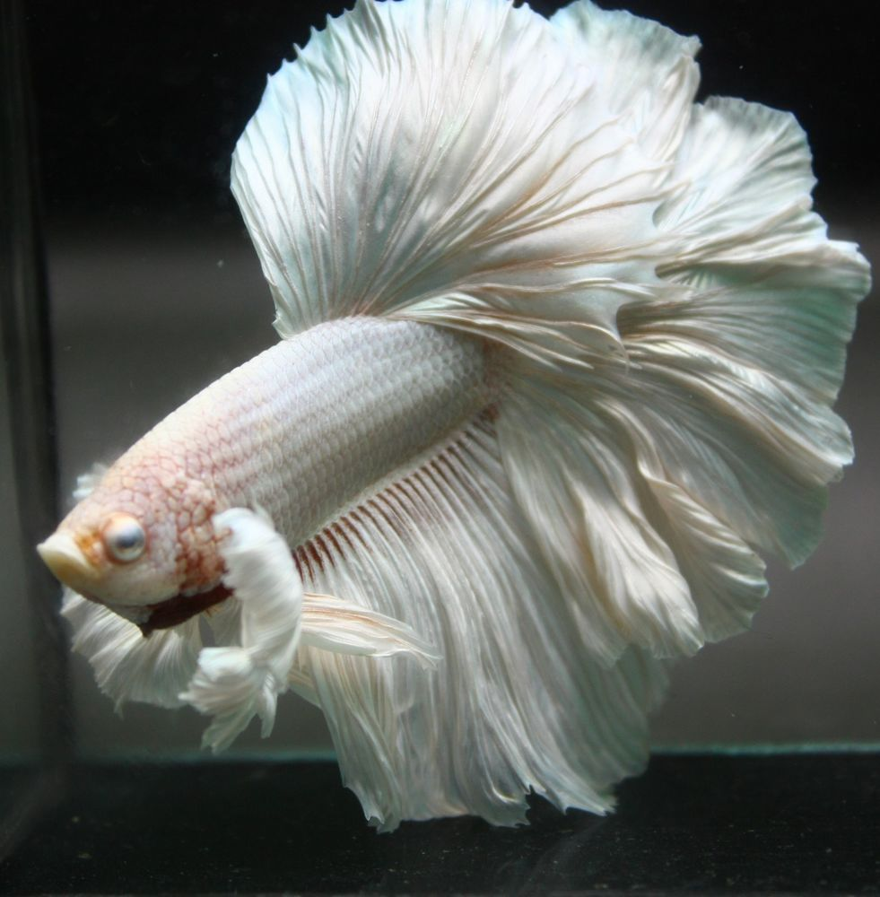 Betta Fish Dumbo White Rose Tail Halfmoon Hm 1 Pair Male Female Betta Fish Bettafish Betta Betta Fish Freshwater Aquarium Fish