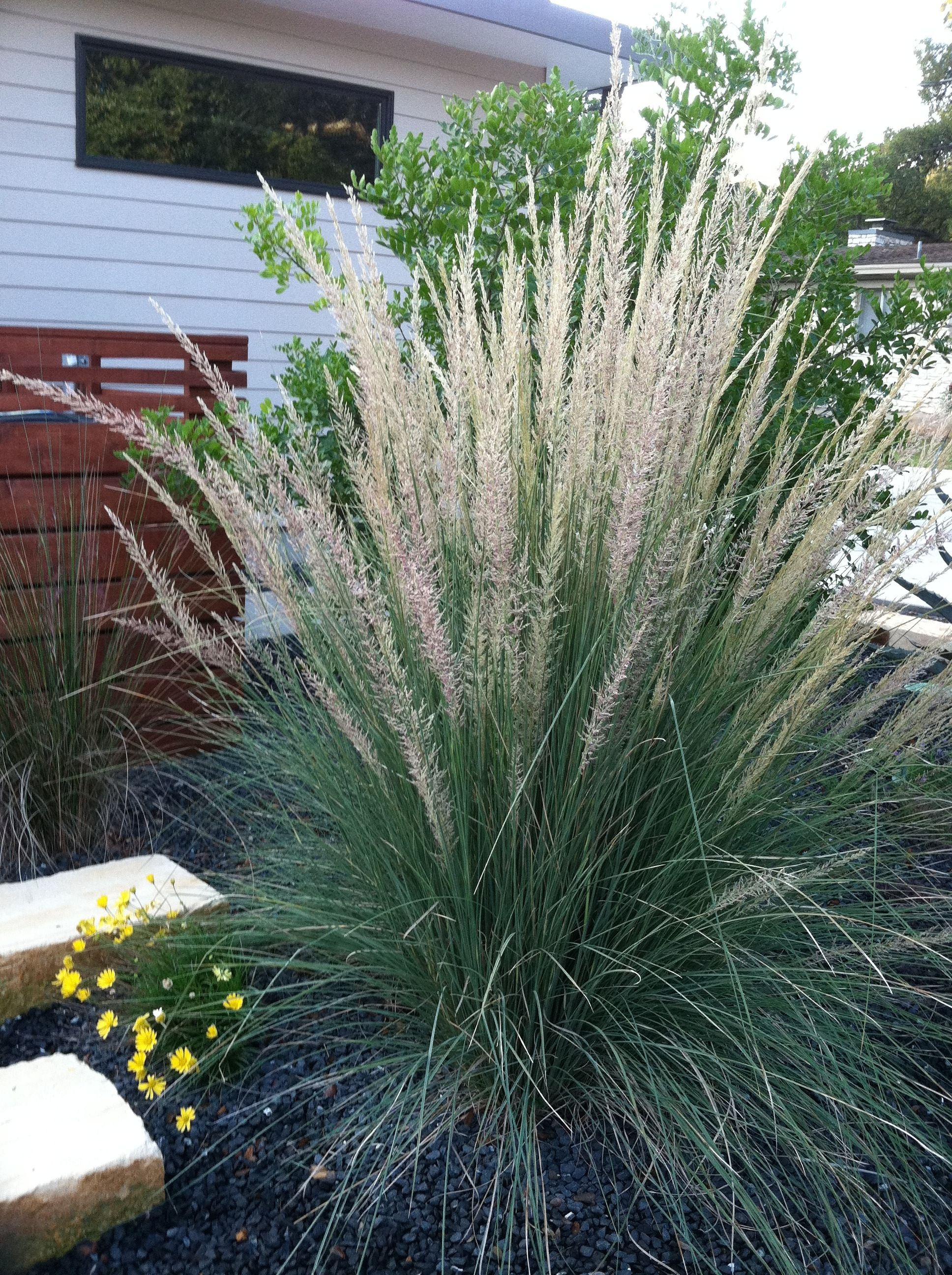 Big Muhly In The Fall When Blooming Ornamental Grasses Backyard Yard Landscaping
