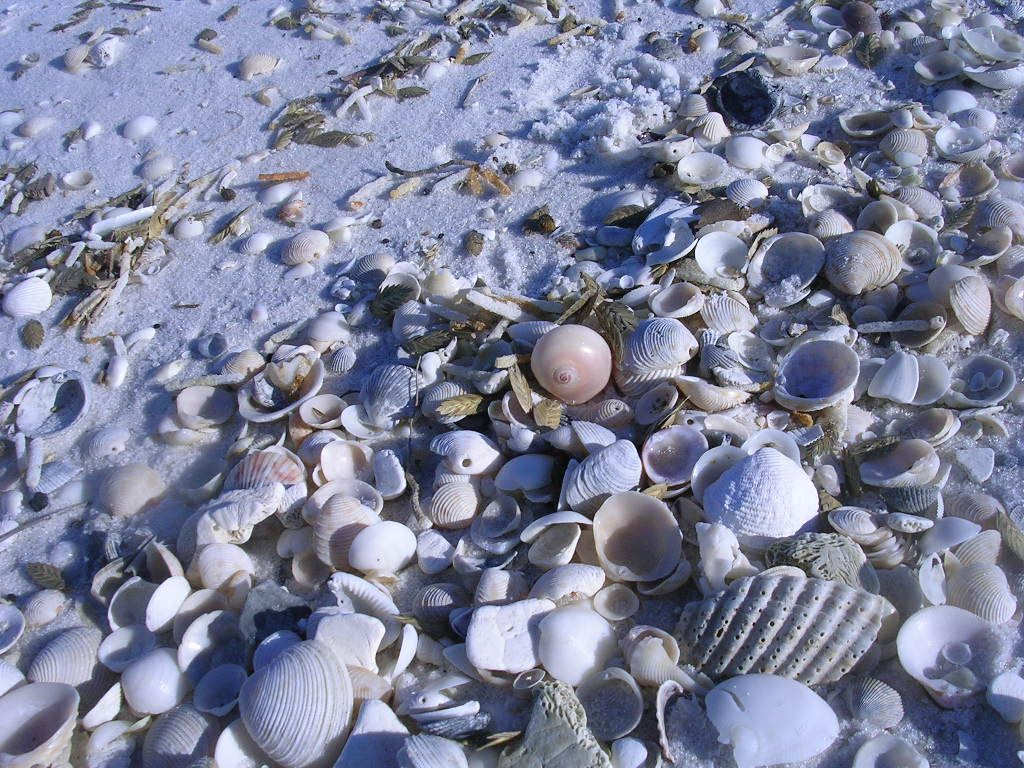 Pensacola Beach Seashells
