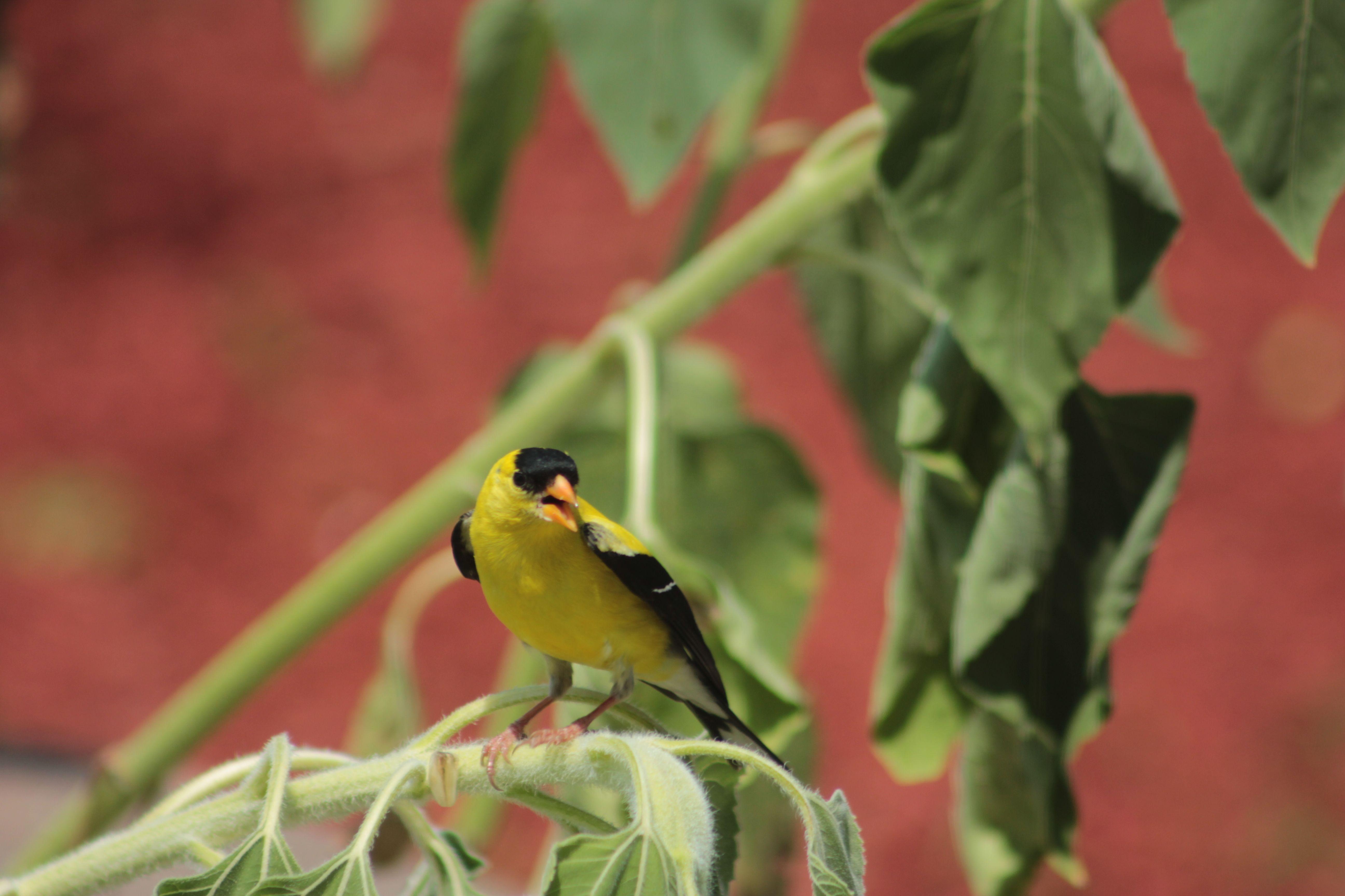 American Goldfinch feeding on my sunflowers