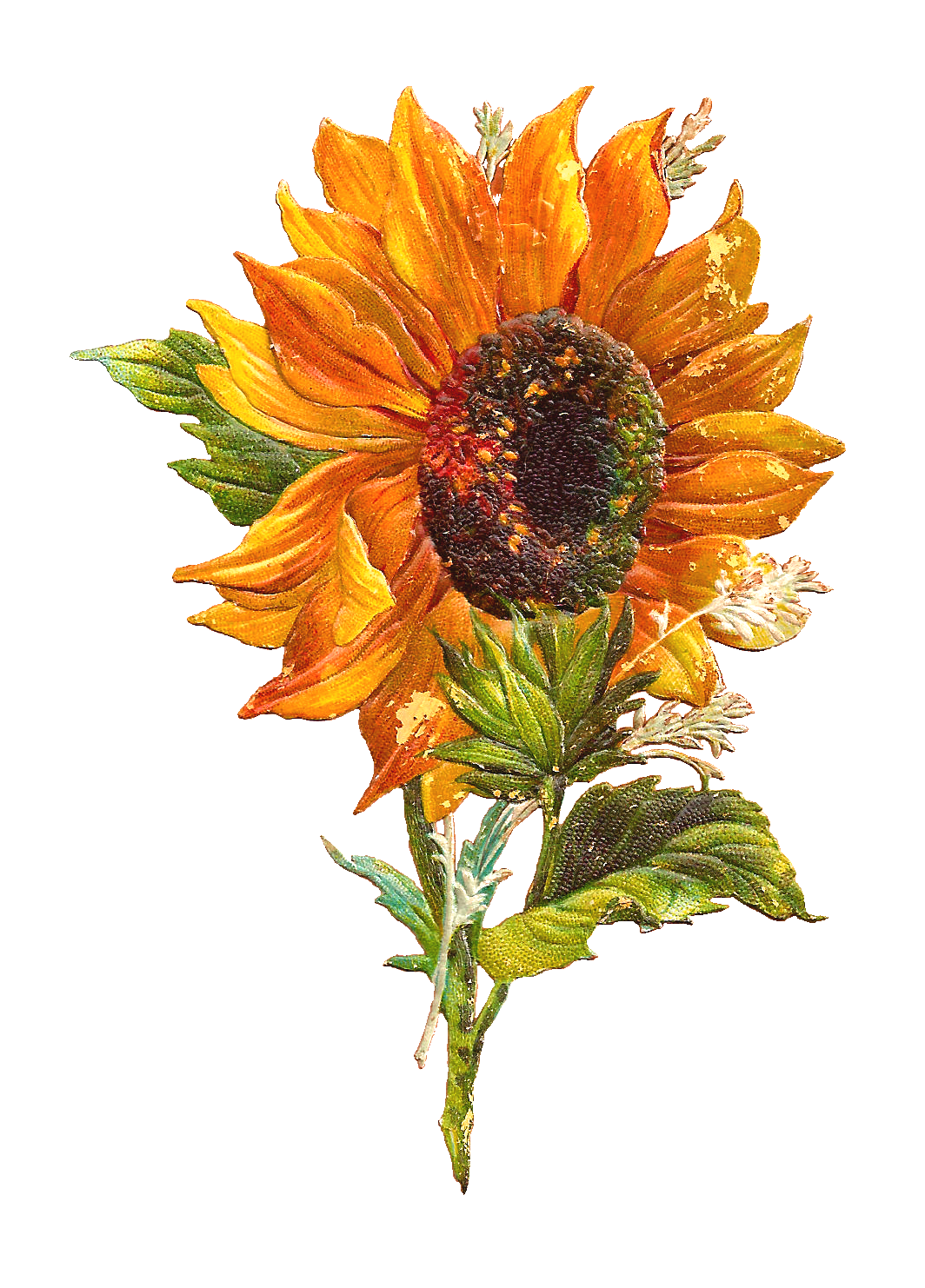 Free Flower Graphic Sunflower Clip Art of 2 Victorian