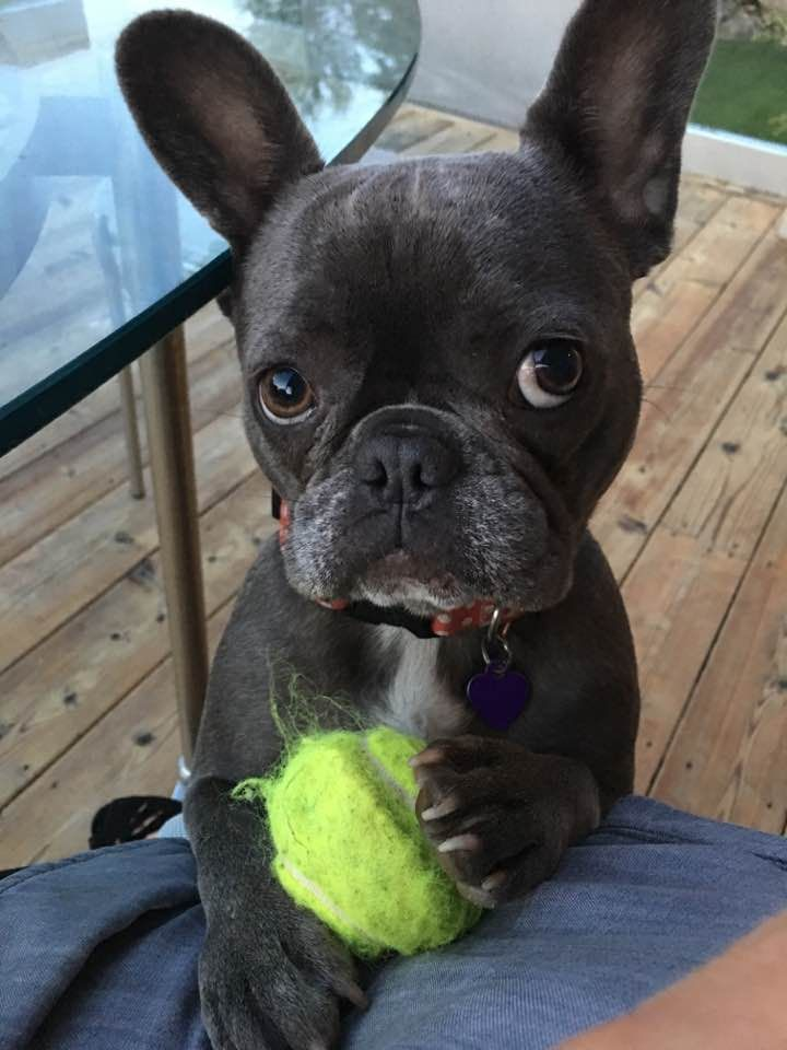 Pin By Gisela Noetzel On Bouledogue Francais Cute Baby Animals Bulldog Puppies Cute Dogs And Puppies