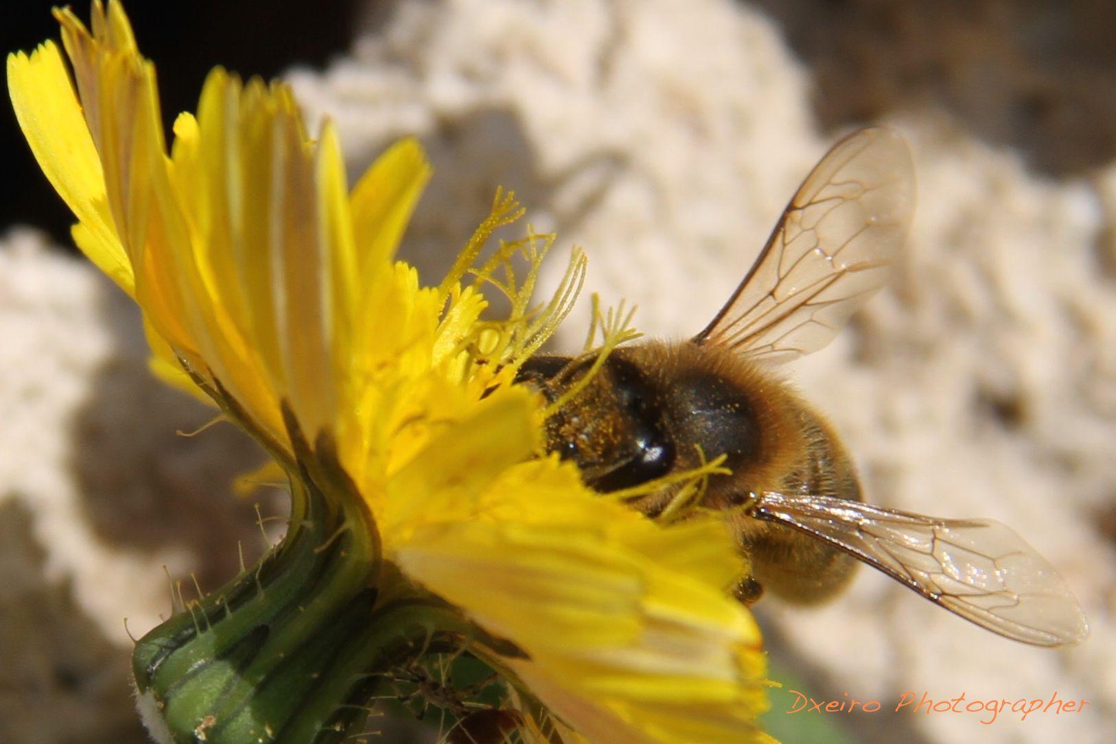 Polinización de las abejas.